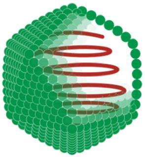 Struktur virus Ikosahedral