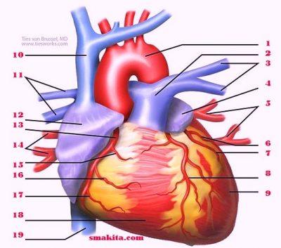 4 Bagian Jantung Manusia dan fungsinya