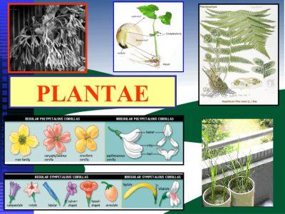 kerajaan tumbuhan