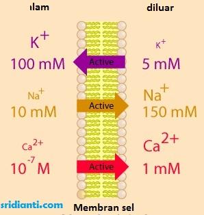 Transportasi Aktif pada Membran Sel