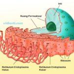 Endoplasma Retikulum
