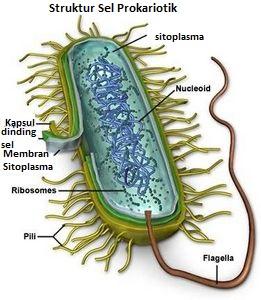 Struktur & Fungsi Sel Bakteri