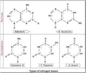Basa Nitrogen
