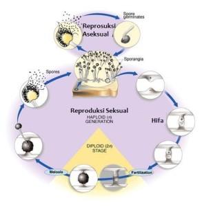 Jelaskan Reproduksi Jamur dengan Spora