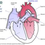 atrium-jantung-smakita-300x241