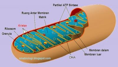 Gambar Bagian-bagian Mitokondria