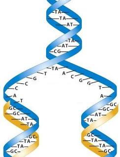 Tiga Model Replikasi DNA