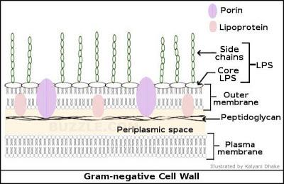Struktur Sel Bakteri Gram Negatif