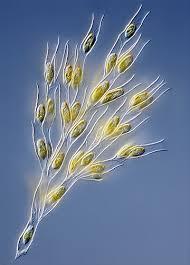 Ciri-ciri Alga Emas