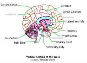 Fungsi Kelenjar Hipotalamus