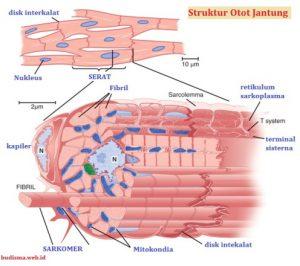 Ciri-ciri Otot Jantung