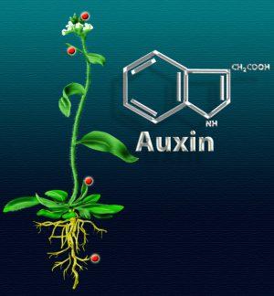 Fungsi Pengaruh Hormon Auksin