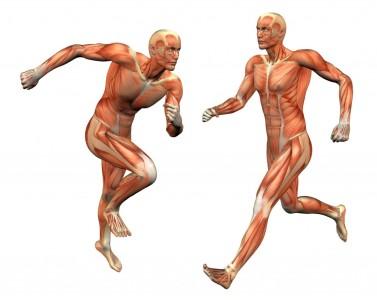 Pengertian, Struktur, Jenis Dan Cara Kerja Beserta Fungsi Sistem Otot Manusia Secara Lengkap