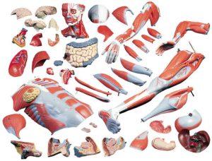 Jenis Jaringan Otot Tubuh Manusia