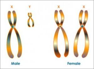 Kromosom Seks