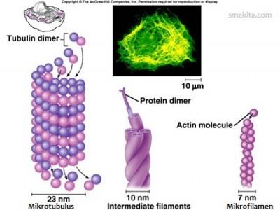 Perbedaan Antara Mikrotubulus Mikrofilamen