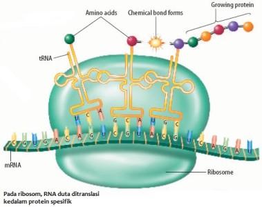 Bagaimana proses sintesis protein berlangsung sridianti proses sintesis protein ccuart Image collections