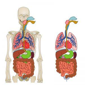 Sistem Organ Tubuh utama