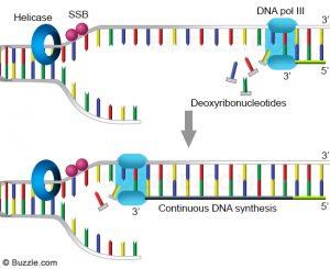 Replikasi DNA untaian pengawal (leading strand)
