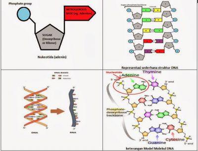 Tahap proses replikasi dna 7 langkah sridianti macam nukleotida ccuart Images