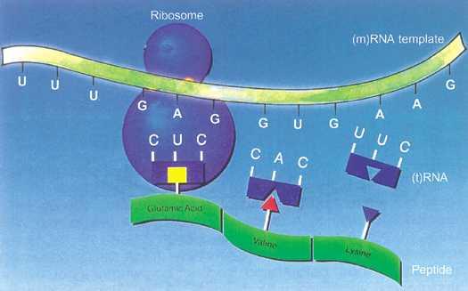 proses translasi pada ribosom