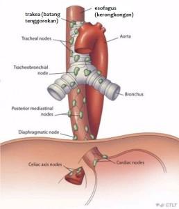 Perbedaan esofagus dan Trakea