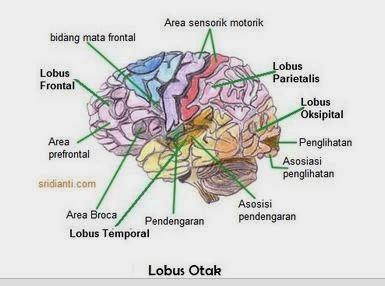 Gambar Bagian Fungsi Otak Manusia