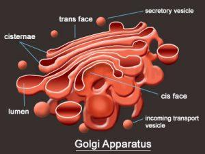 Fungsi utama Aparatus Golgi.