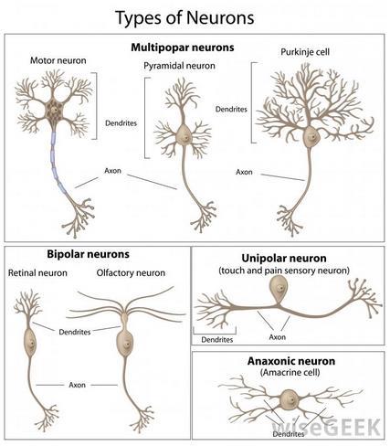 jenis saraf