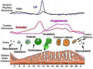 Apa Faktor Mempengaruhi Tingkat FSH?