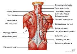 sistem otot manusia