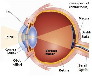 struktur mata manusia