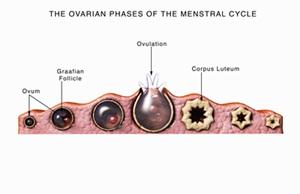 Tahapan ovarium dari siklus menstruasi. Gambar diberi label dan merupakan siklus 28 hari.