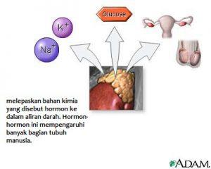 Hormon dihasilkan Kelenjar adrenal