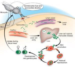 Siklus hidup parasit malaria