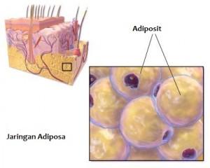 adiposit putih