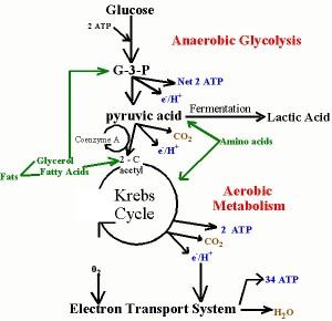 Pengertian Glikolisis aerobik