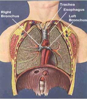 cara kerja paru-paru