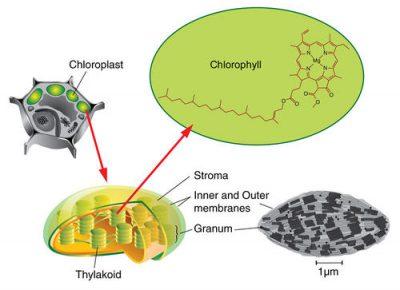 membran tilakoid