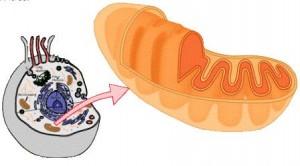 Fungsi Mitokondria dalam Sel eukariotik