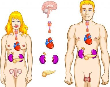 Organ Sistem endokrin