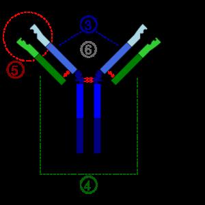 Peran Antibodi dalam Sistem Kekebalan Imunitas