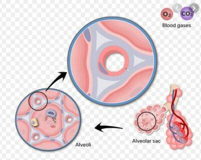 anatomi alveoli