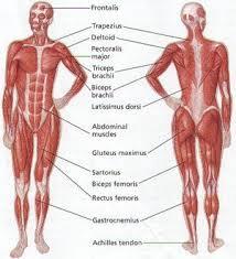 Apakah Fungsi Sistem otot?