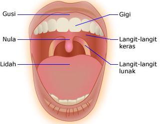 mulut anatomi