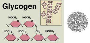 Pembentukan Glikogen
