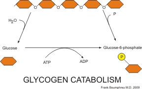 katabolisme glikogen