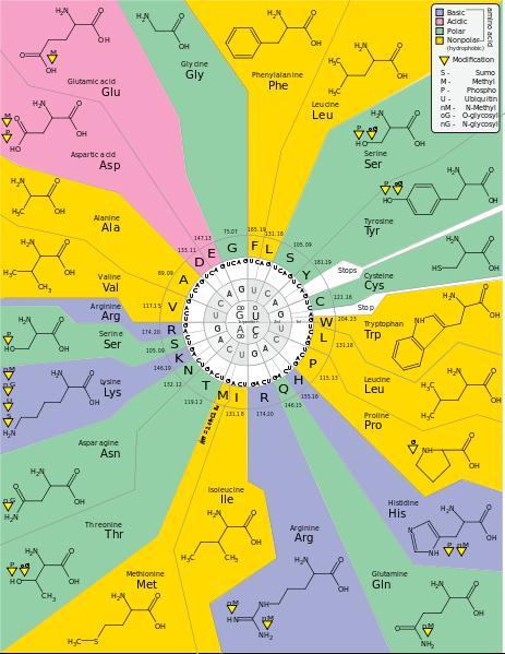 Kodon asam amino