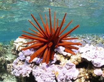 pencil laut