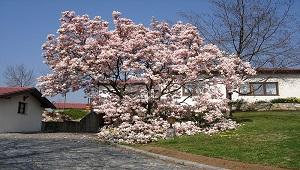 pohon Magnolia